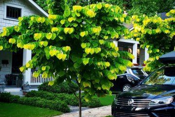 Độc đáo với loài cây có lá giống với Bokeh mà nhiếp ảnh gia hay chụp